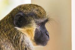 Affe, der auf einem Balkon die Hauptrolle spielt Lizenzfreie Stockfotografie