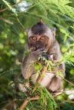 Affe, der auf einem Baum isst Stockfotografie