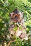 Affe, der auf einem Baum isst Lizenzfreie Stockfotos