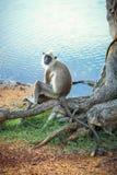 Affe, der auf einem Baum sitzt Lizenzfreie Stockbilder