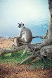 Affe, der auf einem Baum sitzt Stockfotos