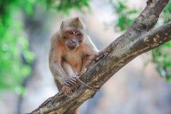 Affe, der auf einem Baum sitzt Lizenzfreie Stockfotos
