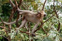 Affe, der auf einem Baum sitzt Stockfotografie