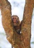 Affe, der auf einem Baum sitzt Sri Lanka Lizenzfreie Stockfotos