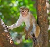 Affe, der auf einem Baum sitzt Sri Lanka Lizenzfreies Stockbild