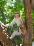 Affe, der auf einem Baum sitzt Sri Lanka Stockfotos