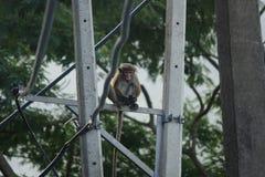 Affe, der auf einem elektrischen Pfosten sitzt Stockfotos