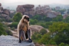Affe, der auf einem Felsen in Hampi sitzt Stockbild