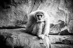 Affe, der auf einem Felsen im Zoo sitzt Stockfoto