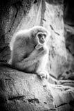Affe, der auf einem Felsen im Zoo sitzt Stockfotografie