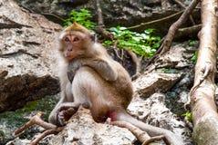 Affe, der auf einem Felsen sitzt Lizenzfreies Stockfoto