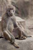 Affe, der auf einem Felsen sitzt Stockbild