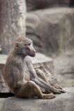 Affe, der auf einem Felsen sitzt Lizenzfreie Stockfotografie