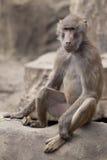 Affe, der auf einem Felsen sitzt Lizenzfreies Stockbild