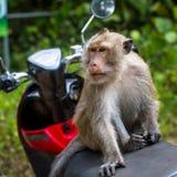 Affe, der auf einem Motorrad, Thailand sitzt Stockfotografie
