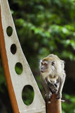 Affe, der auf einem Pfosten sitzt Stockfotos