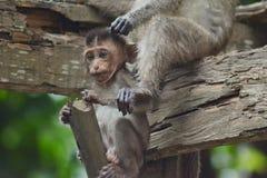 Affe, der auf einem Stock sitzt Stockfotografie