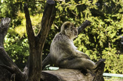 Affe, der auf einem Stumpf sitzt Lizenzfreie Stockfotos