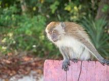 Affe, der auf einer hölzernen Planke sitzt Lizenzfreie Stockbilder