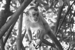 Affe, der auf einer Niederlassung stillsteht Lizenzfreie Stockfotografie