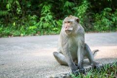 Affe, der auf einer Straße sitzt asien Stockfoto