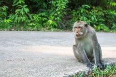 Affe, der auf einer Straße sitzt asien Lizenzfreie Stockfotos