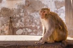Affe, der auf einer Wand-Nahaufnahme sitzt Lizenzfreie Stockfotos