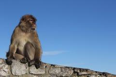 Affe, der auf einer Wand sitzt Stockfotos