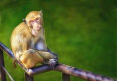 Affe, der auf Eisenschiene sitzt Lizenzfreie Stockfotos