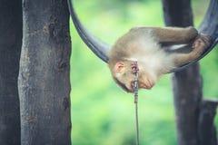 Affe, der auf Fass im Park schläft Lizenzfreie Stockbilder