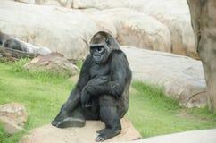 Affe, der auf Felsen sitzt Stockfotografie