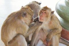 Affe, der auf Flöhen überprüft Stockbilder