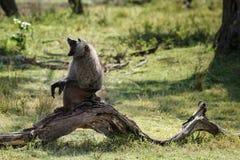 Affe, der auf gefallenem Baum sitzt Stockbild