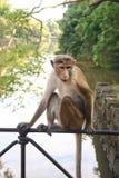 Affe, der auf Geländern der Brücke sitzt Stockfotos