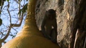 Affe, der auf goldener Statue sitzt stock footage