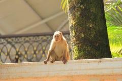 Affe, der auf Hausmauer sitzt Lizenzfreie Stockfotografie