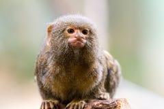 Affe, der auf Holz mit unscharfem Hintergrund sitzt Lizenzfreies Stockbild