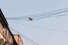 Affe, der auf Kabel geht Lizenzfreie Stockfotos