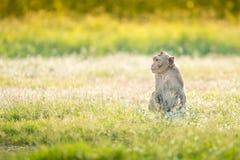 Affe, der auf Natur sitzt Stockbild