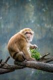 Affe, der auf Niederlassung sitzt Stockfotos