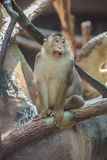Affe, der auf Niederlassung sitzt Stockbild