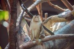 Affe, der auf Niederlassung sitzt Lizenzfreie Stockbilder