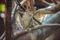 Affe, der auf Niederlassung sitzt Lizenzfreie Stockfotos