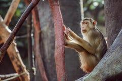 Affe, der auf Niederlassung sitzt Lizenzfreie Stockfotografie