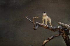 Affe, der auf Niederlassung sitzt Lizenzfreies Stockfoto