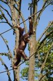 Affe, der auf Seilen balanciert Lizenzfreie Stockfotos