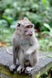 Affe, der auf Stein sitzt Stockbild
