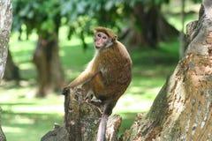 Affe, der auf Stumpf des Baums sitzt Stockfotos