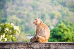 Affe, der auf Unschärfegrün-Naturhintergrund sitzt Lizenzfreie Stockfotografie