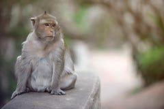 Affe, der auf der Wand sitzt Lizenzfreie Stockfotos